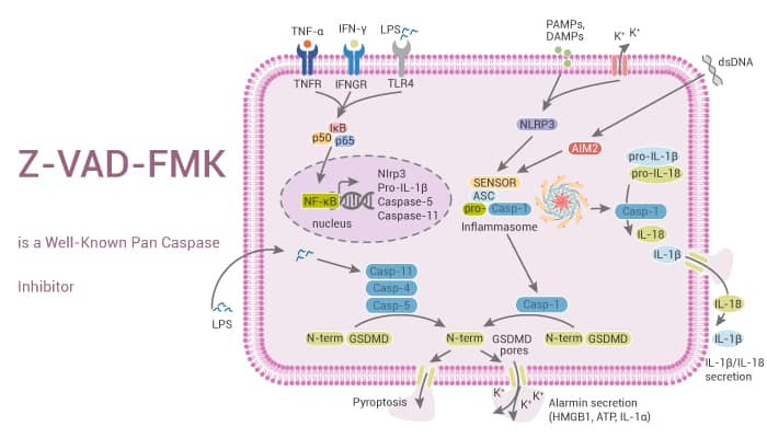 Z VAD FMK is a Well Known pan Caspase Inhibito0 2021 08 24r - Z-VAD-FMK is a Well-Known pan Caspase Inhibitor