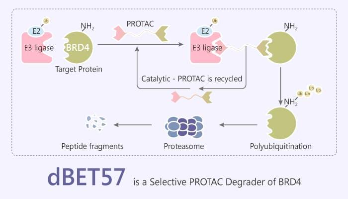 dBET57 is a Selective PROTAC degrader of BRD4 2019 09 05 - dBET57 is a Selective PROTAC Degrader of BRD4