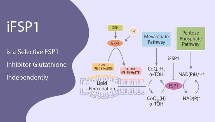 iFSP1 is a Selective FSP1 Inhibitor Glutathione Independently 2020 05 12 - iFSP1 is a Selective FSP1 Inhibitor Glutathione-Independently