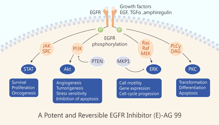 A Potent and Reversible EGFR Inhibitor E AG 99 2019 04 21 - A Potent and Reversible EGFR Inhibitor (E)-AG 99