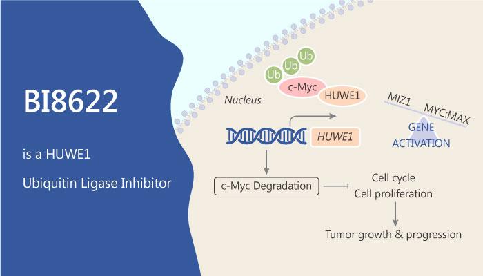 BI8622 is a HUWE1 Ubiquitin Ligase Inhibitor for Colorectal Cancer 2019 06 20 - BI8622 is a HUWE1 Ubiquitin Ligase Inhibitor for Colorectal Cancer