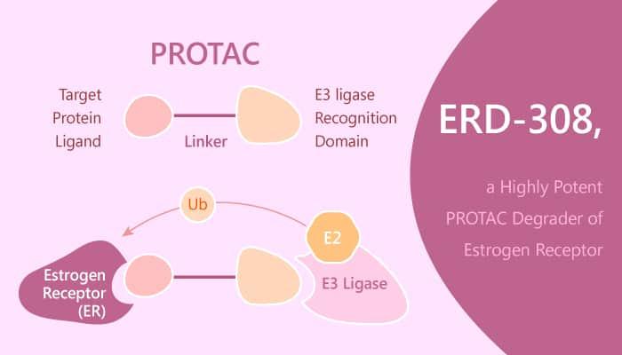 ERD 308 a PROTAC Degrader of ER Has Potential to Treat ER Breast Cancer Treatment 2019 07 17 - ERD-308, a PROTAC Degrader of ER, Has Potential to Treat ER+ Breast Cancer Treatment