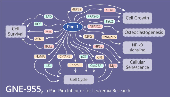 GNE 955 a Pan Pim Inhibitor for Multiple Myeloma and Leukemia Research 2019 05 16 - GNE-955 is a Potent Pan-Pim Inhibitor for Multiple Myeloma and Leukemia Research