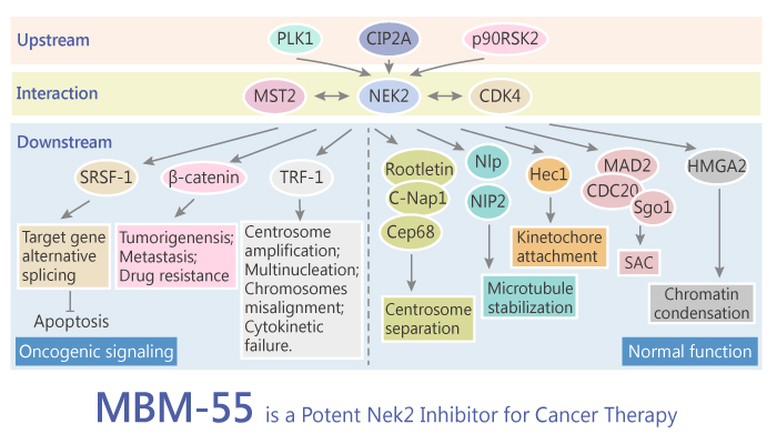 MBM 55 is a Potent Nek2 Inhibitor for Cancer Therapy 2019 07 28 - MBM-55 is a Potent Nek2 Inhibitor for Cancer Therapy