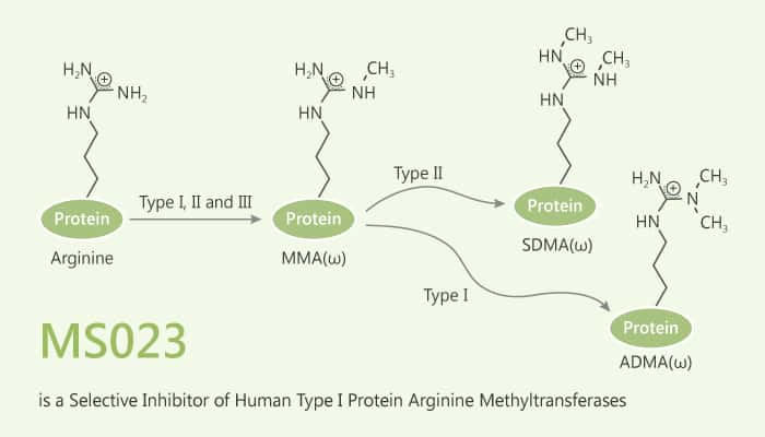 MS023 is a Selective Inhibitor of Human Type I Protein Arginine Methyltransferases 2019 07 11 - MS023 is a Selective Inhibitor of Human Type I Protein Arginine Methyltransferases
