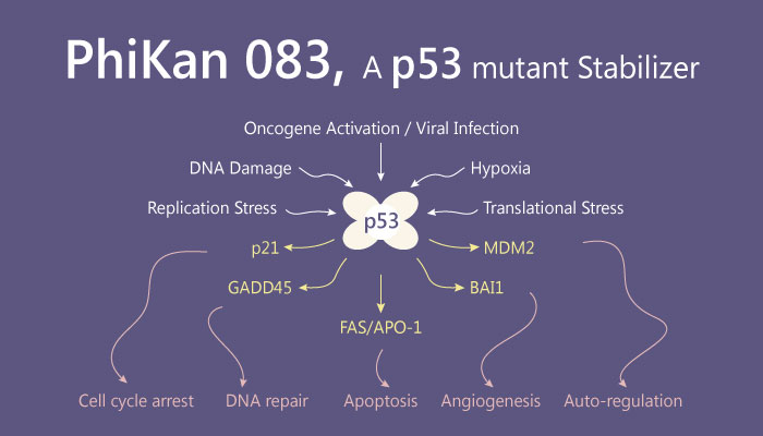PhiKan083 p53 Mutant Stabilizer Cancer Apoptosis 2019 04 11 - PhiKan 083, a Potent p53 Mutant Stabilizer for Cancer Research