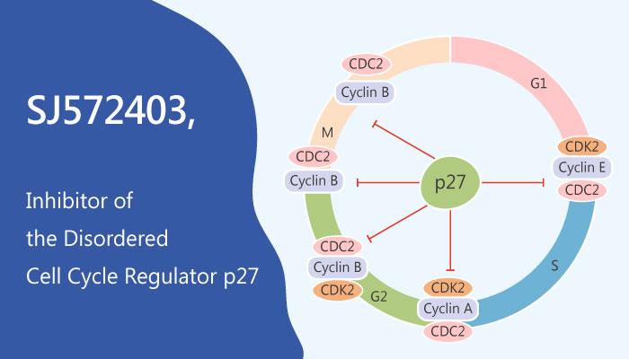 SJ572403 Disordered Cell Cycle Regulator p27 Kip1 2019 05 10 - SJ572403 Inhibits the Disordered Cell Cycle Regulator p27<sup>Kip1</sup>