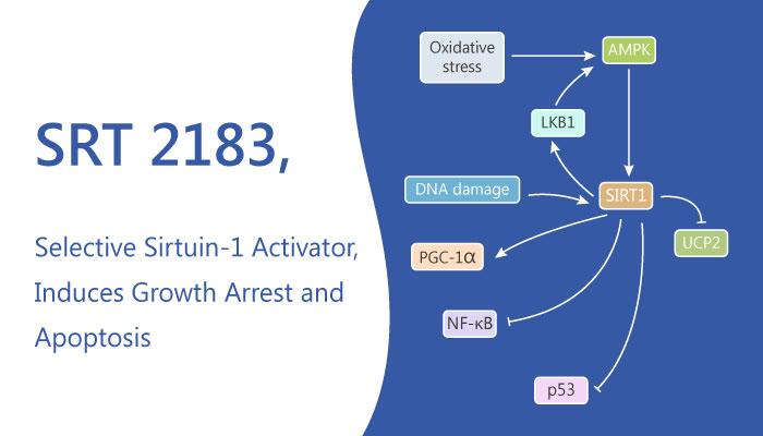SRT 2183 Sirtuin 1 Activator Induces Growth Arrest Apoptosis 2019 05 08 - SRT 2183, a Selective Sirtuin-1 Activator, Induces Growth Arrest and Apoptosis