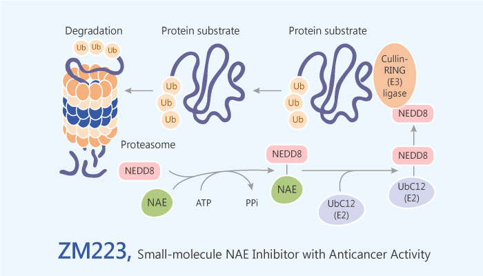 ZM223 NEDD8 Activating Enzyme NAE Inhibitor colon cancer 2019 05 11 - ZM223 is a NEDD8 Activating Enzyme (NAE) Inhibitor with Anticancer Activity